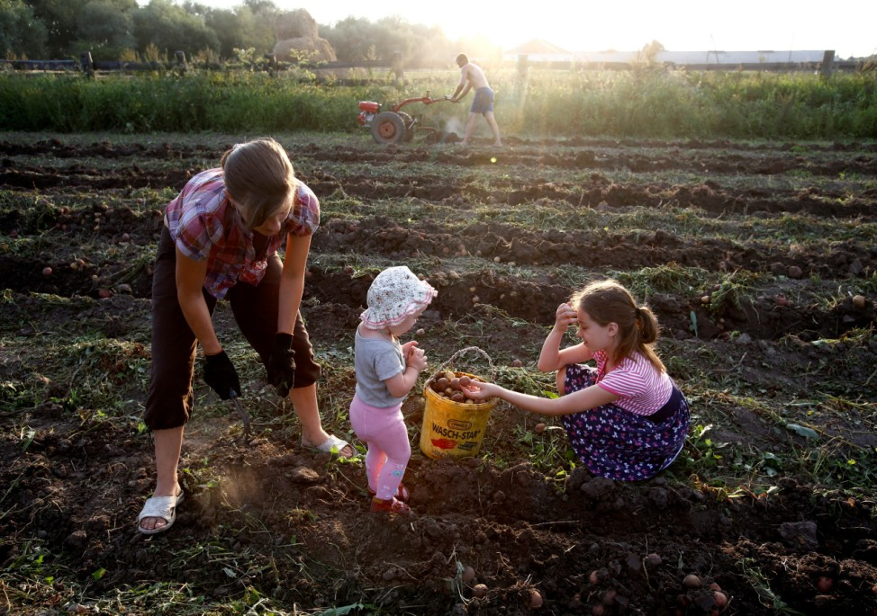 Villagers gather potatoes in a field in the village of Pogost