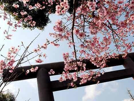 Kirschblüte in Japan, dpa