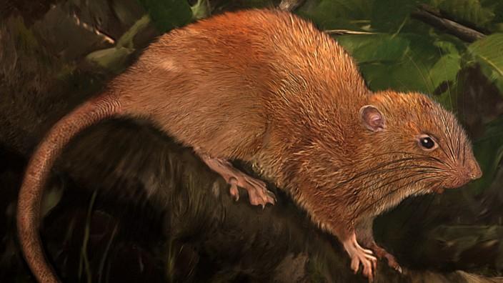 Neue Rattenart auf den Salomonen entdeckt