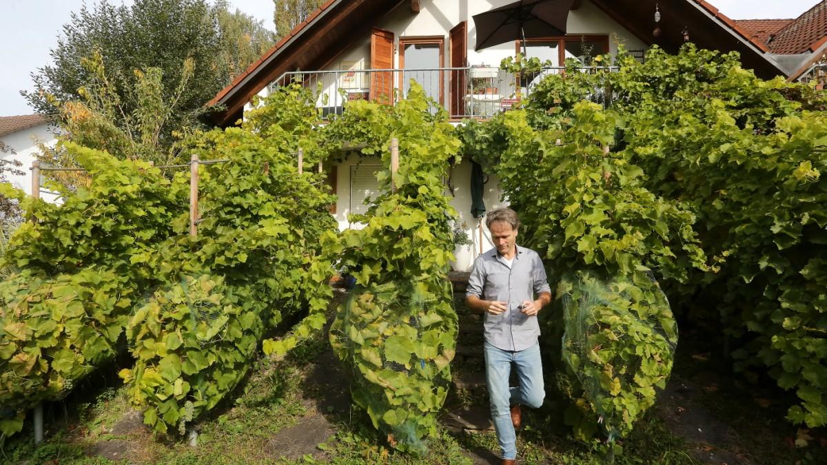 Winzer in München: Kann man hier Wein anbauen? - München - SZ.de Wand