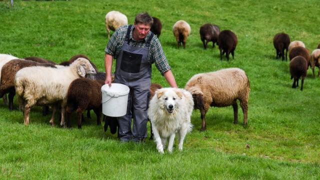 Tierhaltung: In Benediktbeuern passt Herdenschutzhund Chico auf die Schafe von Michael Waldherr auf.