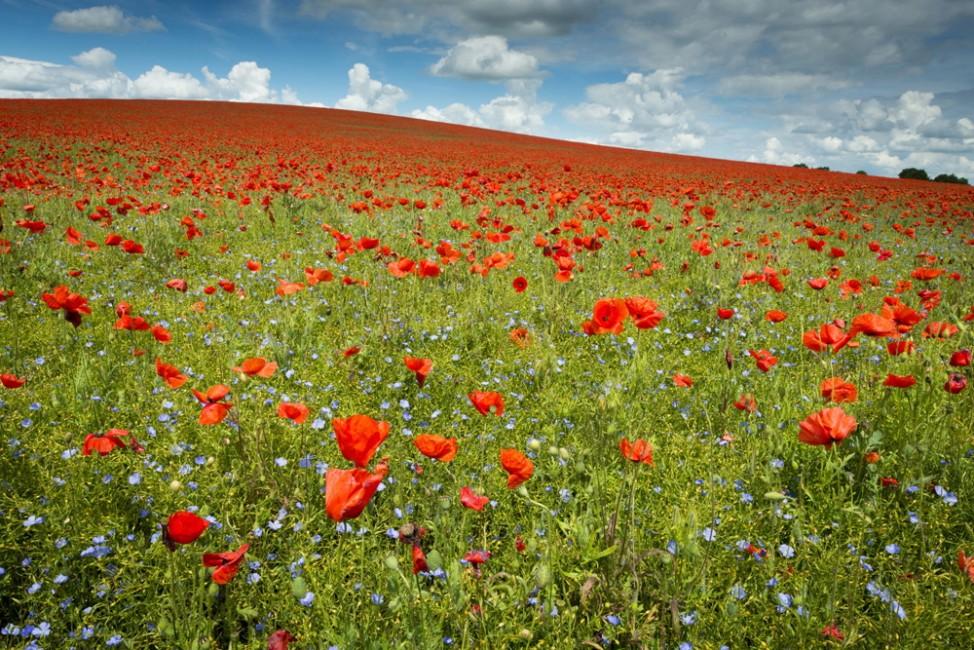 UK Weather: Poppies in flower, Royston UK