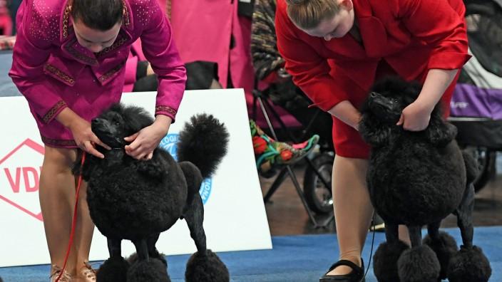World Dog Show in Leipzig: Zwei Pudel, bereit für den großen Auftritt bei der World Dog Show in Leipzig.