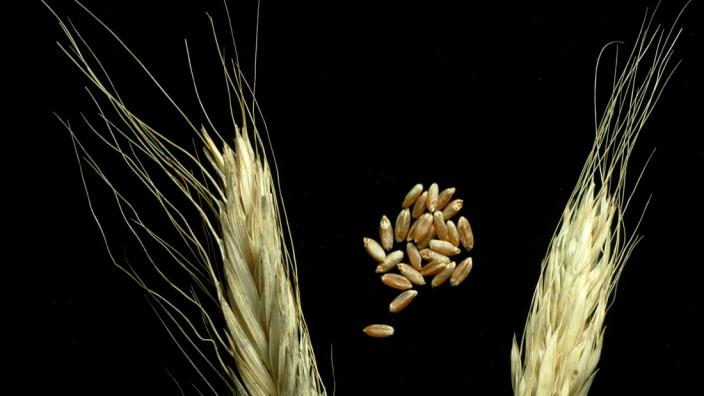 Landwirtschaft: Triticum polonicum (Polnischer Weizen) wächst vor allem in Russland, Äthiopien und einigen Regionen Asiens.