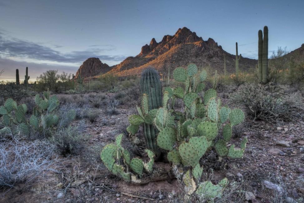 January 9 2010 Marana AZ United States of America Cactus in Ironwood Forest National Monument