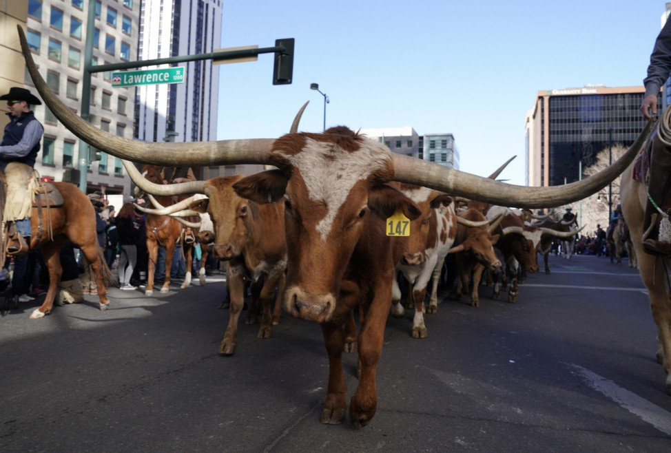 Parade Of Cattle And Western Wagons Kicks Off Annual Nat'l Western Stock Show