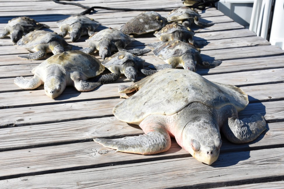 A group of cold-stunned turtles is seen after being rescued following extreme cold weather on St. Joseph Peninsula