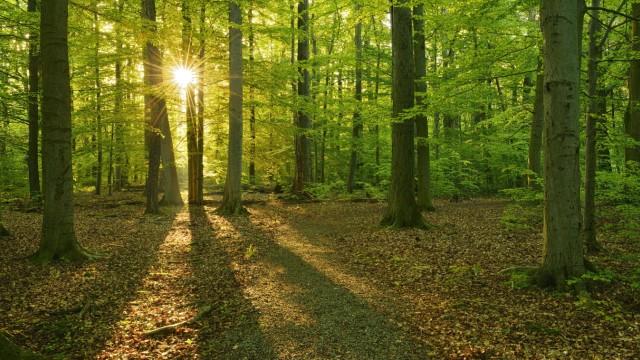 Morgensonne naturnaher Buchenwald UNESCO Weltnaturerbe Nationalpark Hainich Thüringen Deutschla
