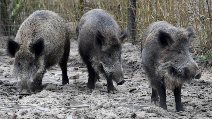 Wildschweine Abschuss Bauernverband Afrikanische Schweinepest