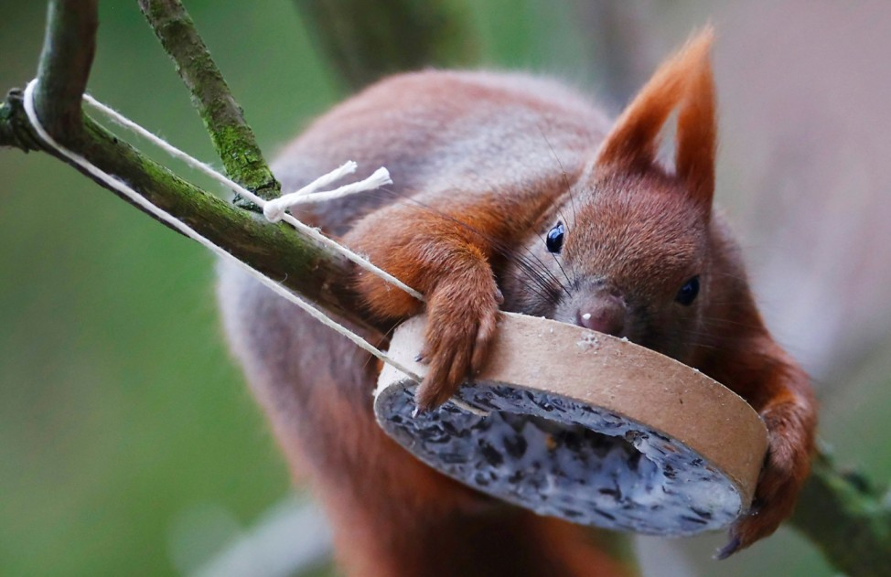 A red squirrel takes bird food at a tree in Berlin