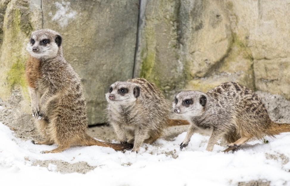 Tierpark Hellabrunn - Erdmänchen