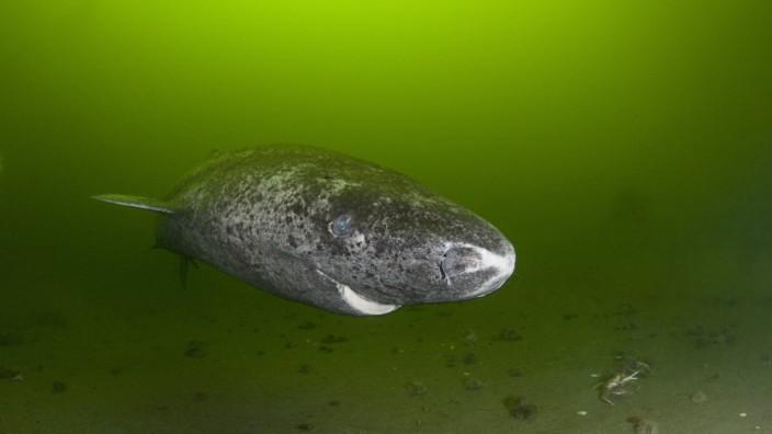 Greenland sleeper shark Somniosus microcephalus St Lawrence River estuary Canada NB this shark