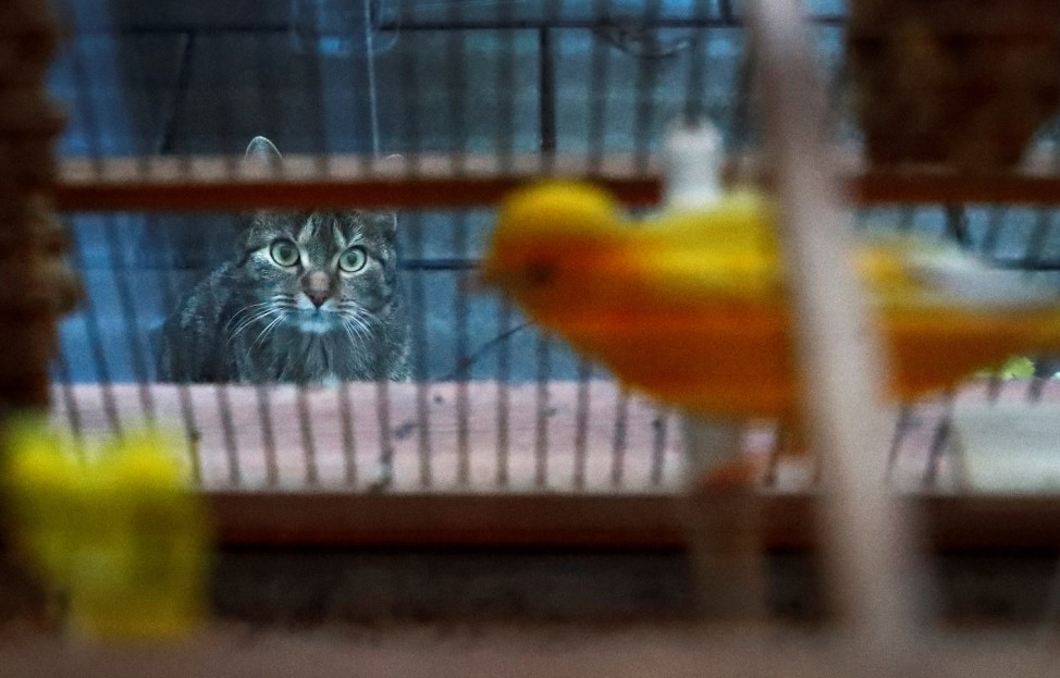 Tomcat 'Findus' looks through a window while canary 'Dodo' sits in his cage in Hanau
