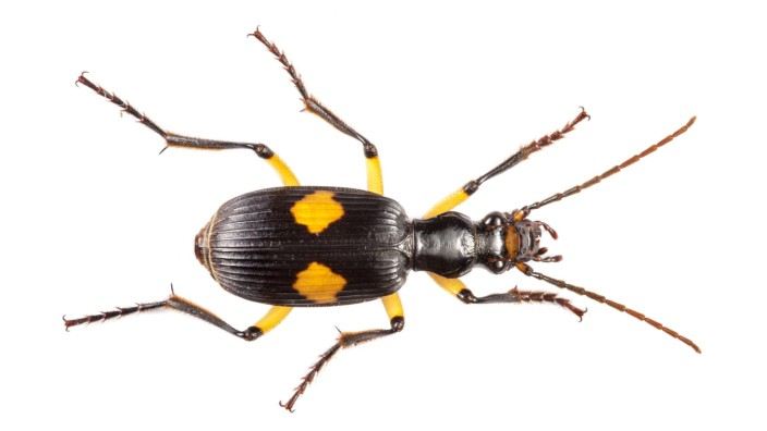 Bombardier beetle Pheropsophus sp Danum Valley Sabah Borneo PUBLICATIONxINxGERxSUIxAUTxONLY 149