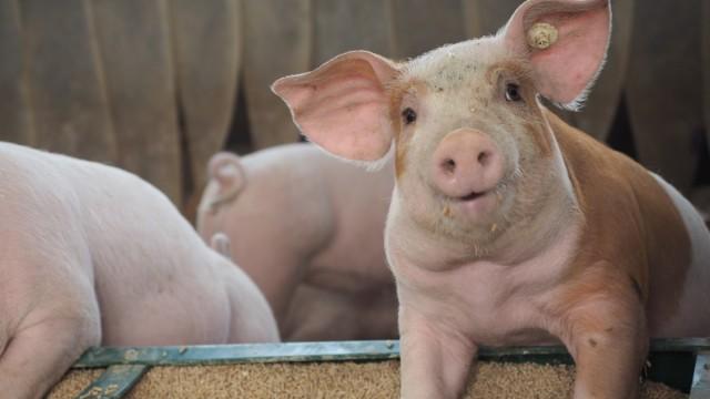 Schweine mit Ringelschwanz