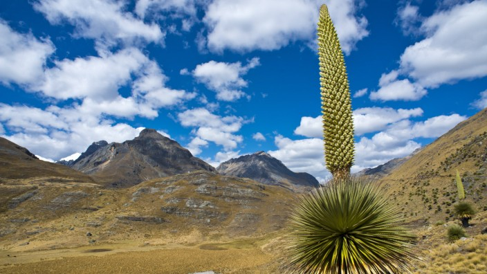Riesenbromelie Puya raimondii mit ca 8 m hohem Blütenstand höchster Blütenstand der Welt Wahrz