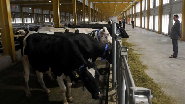 Cows are seen at Baladna farm near Al Khor