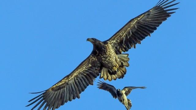 Seeadler und Nebelkrähe zanken um die Lufthoheit
