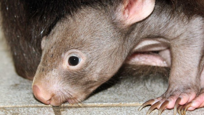 Wombat Dusiburg