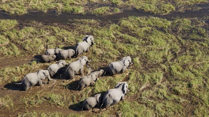 Afrikanische Elefanten Loxodonta africana Zuchtherde in einem Süßwassersumpf Luftaufnahme Okav