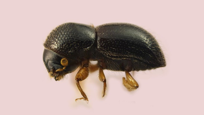 Taxonomic name:  Xylosandrus germanus