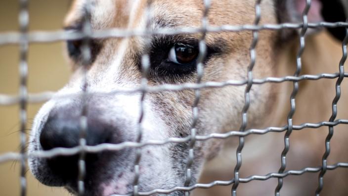 Staffordshire-Terrier-Mischling