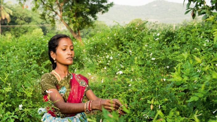 Jasmine grandiflorum harvest India