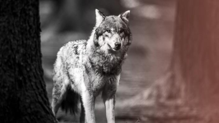 Wolf im Wildpark