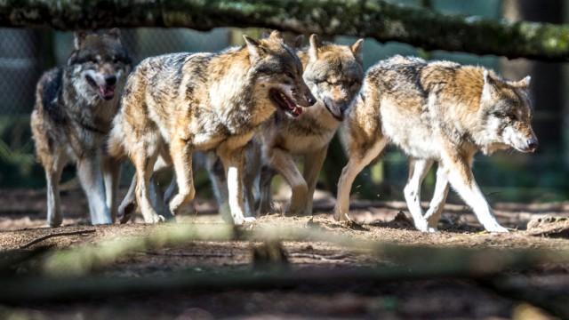 Wölfe ausgebrochen