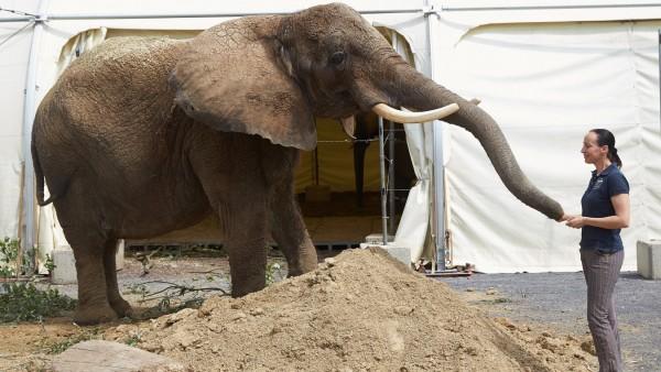 Ausgebüxter Zirkus-Elefant spazierte durch Wohnviertel