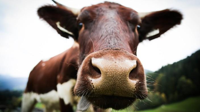 Kühe benötigen für die Haltung viel Ackerland