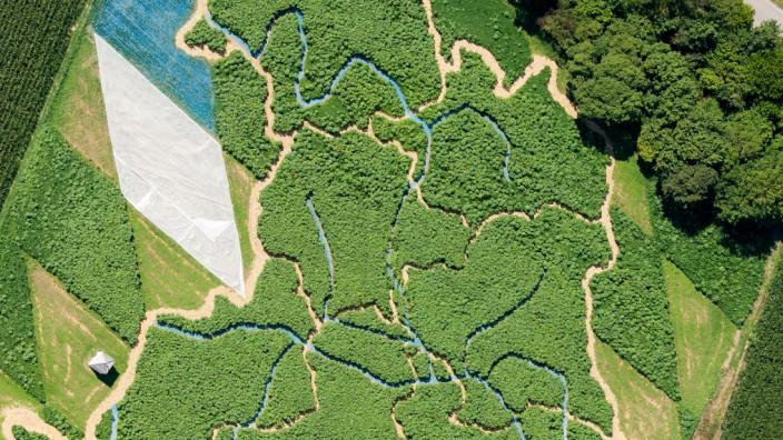 Das Labyrinth im Maisfeld in Utting ist jedes Jahr anders gestaltet, dieses Jahr in Form des Freistaats Bayern.