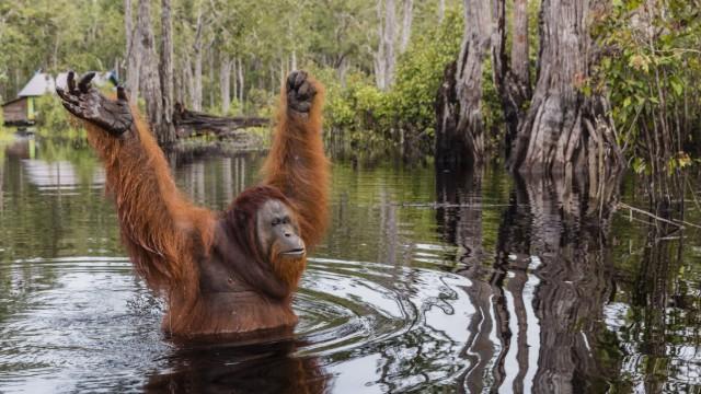 Wild male Bornean orangutan Pongo pygmaeus on the Buluh Kecil River Borneo Indonesia Southeast