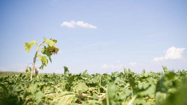 Sommerhitze: Eine Sonnenblume auf einem Zuckerrübenfeld