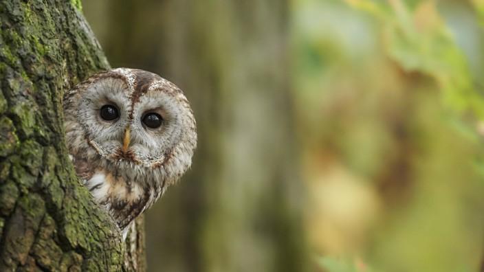 Auch der Waldkauz, der Vogel des Jahres 2017, ist in München heimisch.