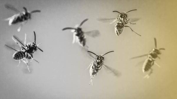 Wespen fliegen auf ihr Nest zu.
