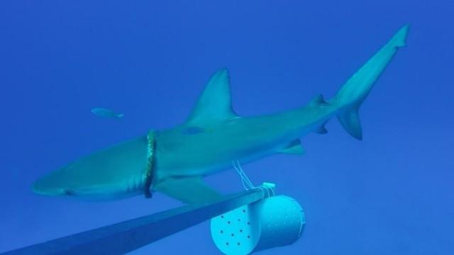 Verfangener Galapagoshai
