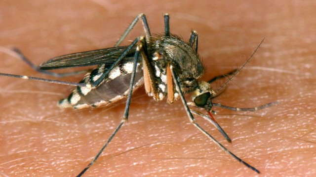 Stechmücken