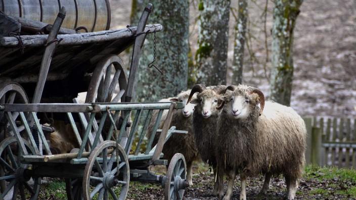 Jexhof-Schafe