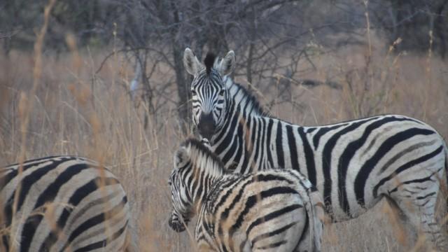 Zebras in Südafrika Grafinger Jugendorchester