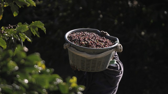 A boy carries freshly harvested coffee beans on a plantation in San Isidro de Alajuela, north-east of San Jose