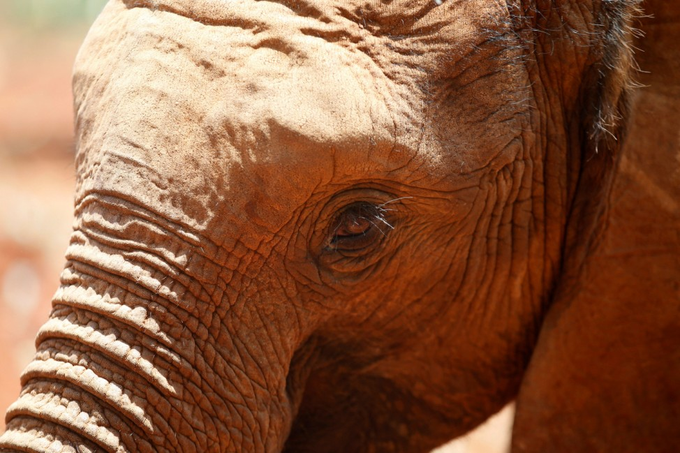 An orphaned baby elephant is seen after being bottle-fed, at the David Sheldrick Elephant Orphanage near Nairobi