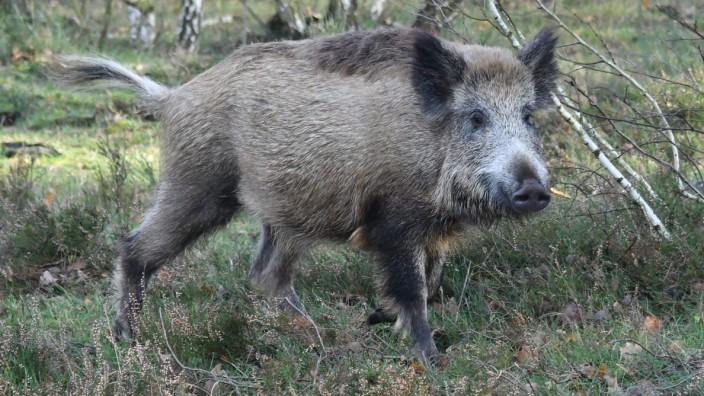 wildschwein schlachten