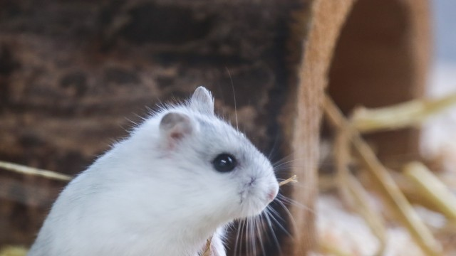 Hamsterinvasion