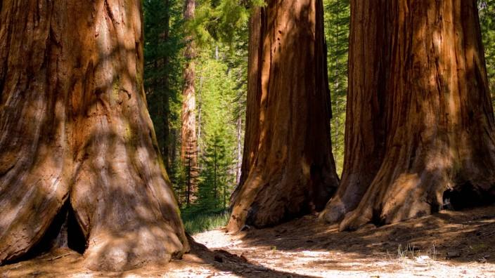 Riesenmammutbäume: Sequoiadendron giganteum zählen zu den größten Bäumen der Welt