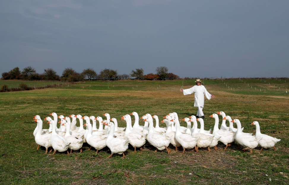 Breeder Siegfried Marth rounds up a gaggle of geese in a pasture in Hagensdorf