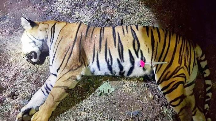 Tiger Indien Maharashtra