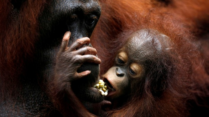Khansa, the Singapore Zoo's 46th orangutan baby, clings to its mother Anita during a media tour to showcase newborn animals at the Singapore Zoo
