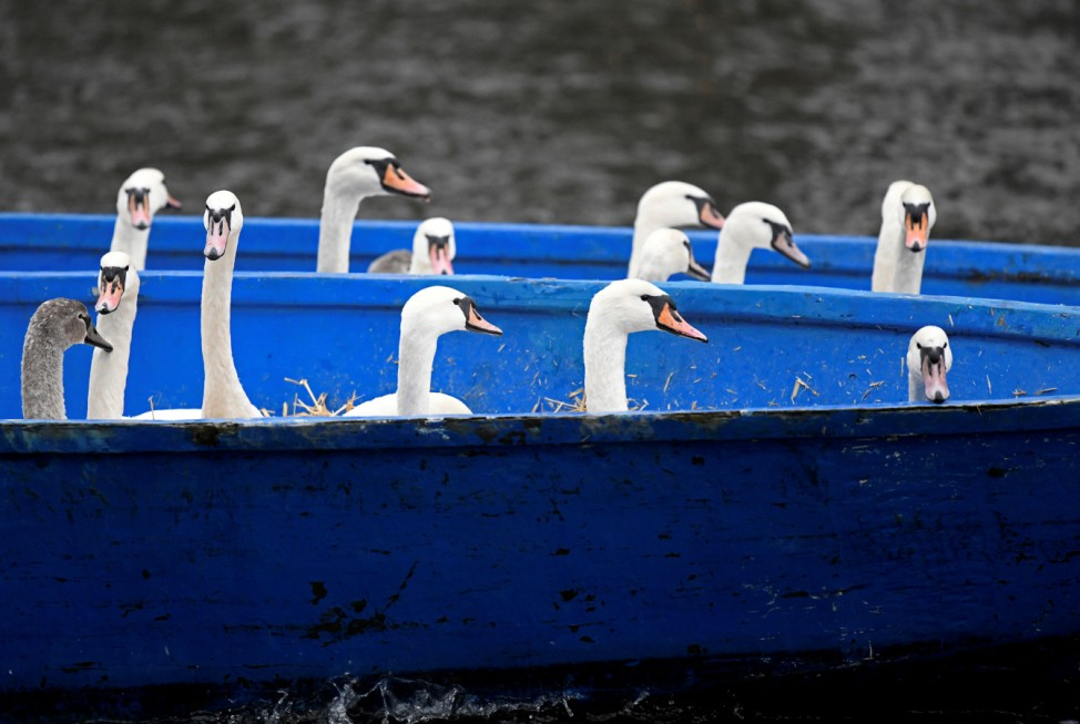 Swans are seen in a boat after they were caught at Hamburg's inner city lake Alster by Olaf Niess and his team to bring them in their winter quarters in Hamburg