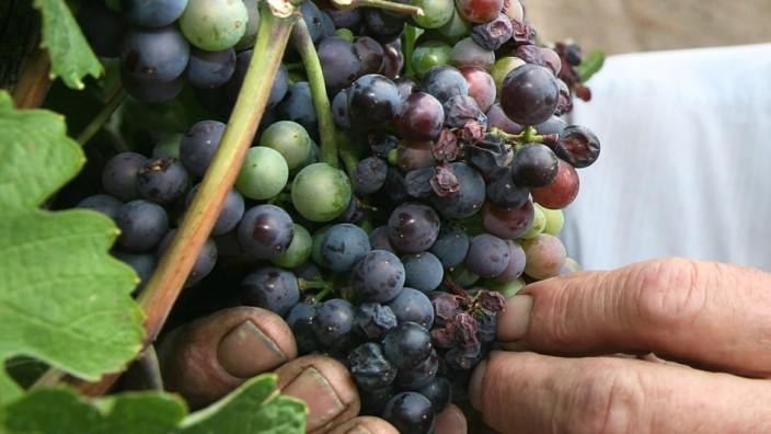 Too Much Sun Threatens Austrian Wineries